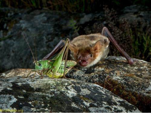 Myotis myotis catching katydid