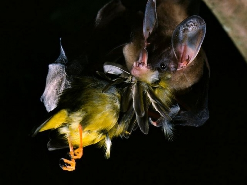 Bat eating a bird