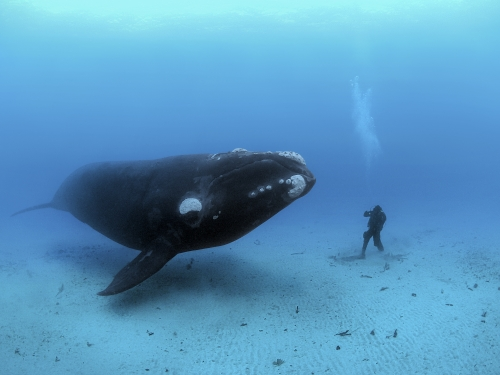 southern right whale hovering next to person on ocean floor