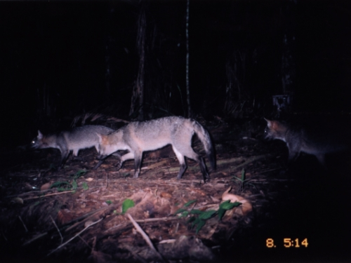 Crab-eating foxes