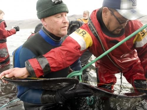 Researchers tag a narwhal in shallow water