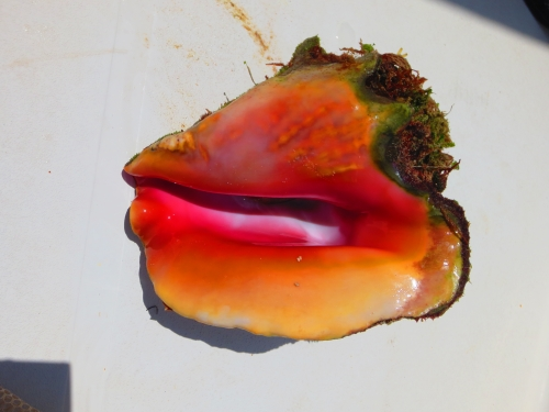 brilliantly colored queen conch shell