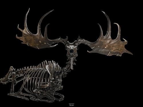 """the """"Irish Elk,"""" Megaloceros giganteus"""