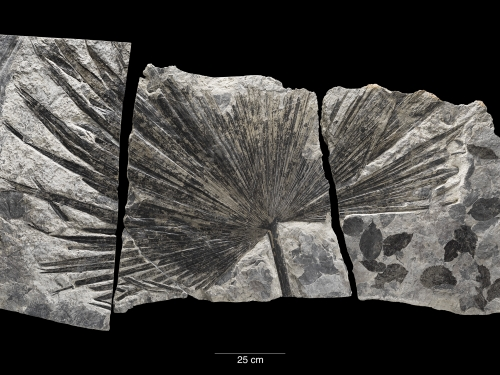 fossil palm leaf (Sabalites sp.),