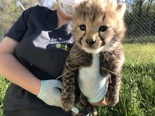 Keeper holding baby cheetah