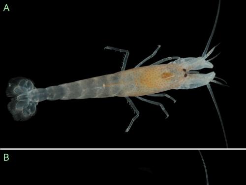 Shrimp Pachelpheus pachyacanthus