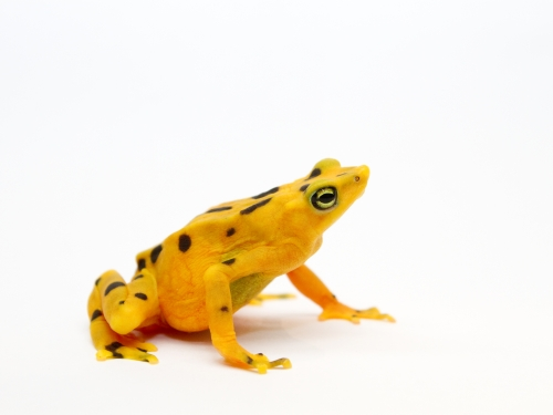 bright yellow frog against whit ebackground