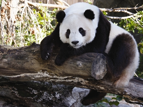 Giant panda Tai Shan