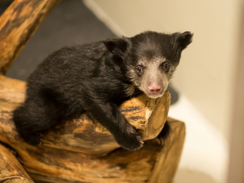 Sloth bear cub Remi