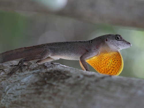 Anole lizard with throat inflated