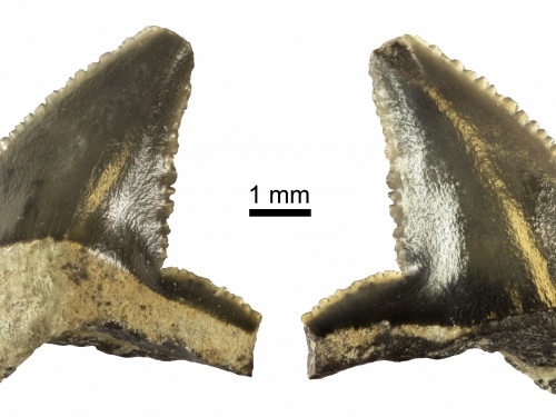 fossil shark teeth