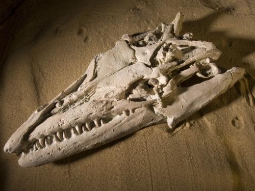 Mosasaur skull