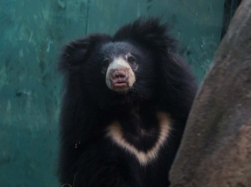 female sloth bear Remi
