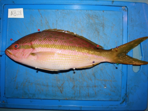 Fish with measurement pins