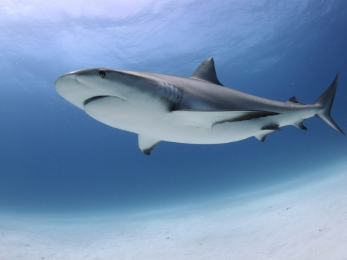 artists rendering of shark