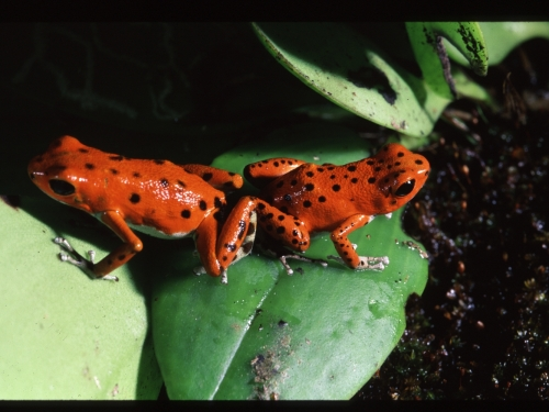 Strawberry Poison Dart Frogs