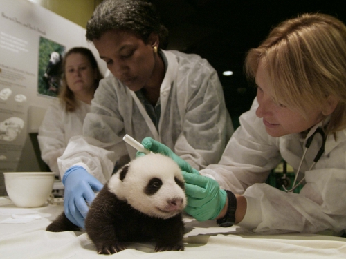 National Zoo vets with baby giant panda