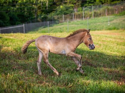 Winnie's colt at the Smithsonian Conservation Biology Institute.