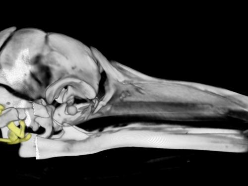 Fin whale fetal skull