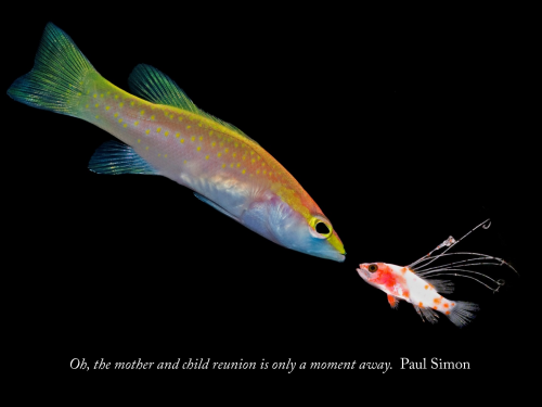 Adult and very different looking larval fish with Paul Simon quote superimposed