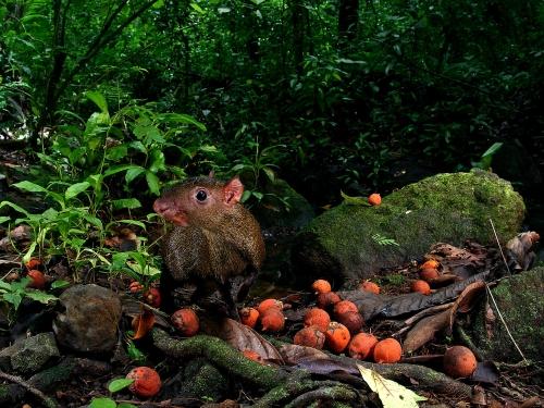 Agouti Eating Palm Seeds
