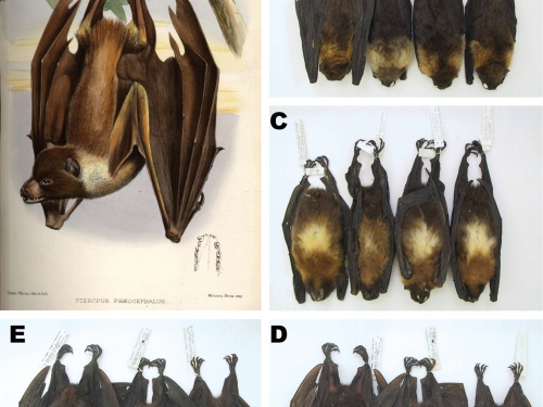 Flying foxes composite