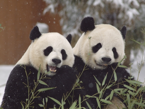Two pandas eating bamboo