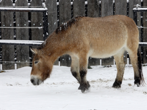 Przewalski's horse Rose Marie at the Smithsonian's National Zoo.