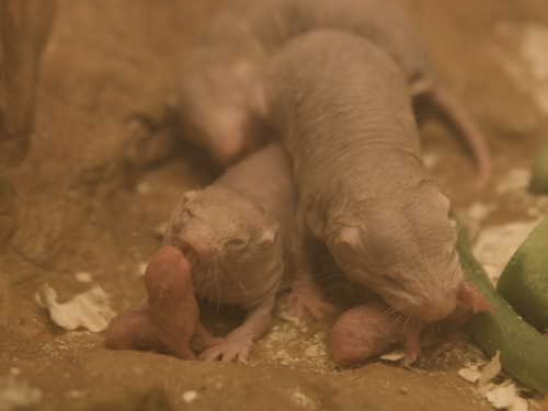 Inside Look - Naked Mole Rats - YouTube