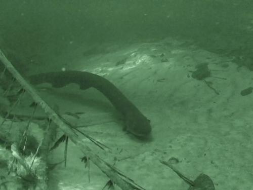 Eel under water