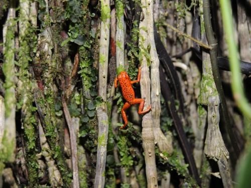 Bright red frog climbing branches.