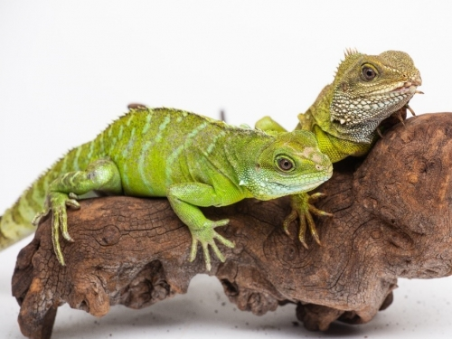Asian Water Dragon