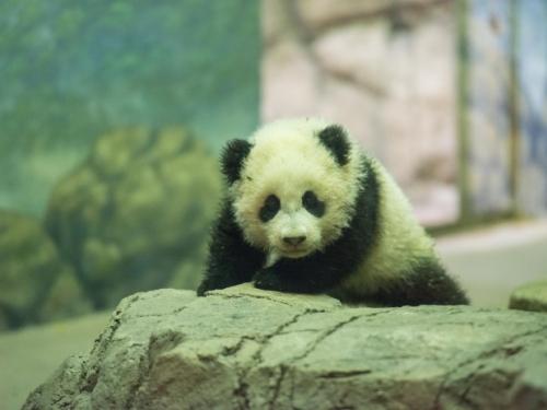 Bao Bao the Giant Panda cub