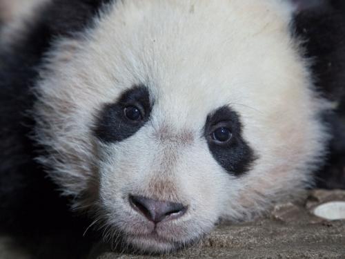 Bao Bao in giant panda house