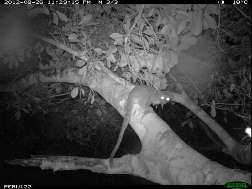 camera trap photo of nocturnal animal in tree