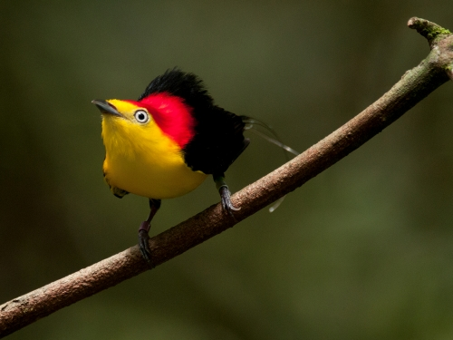 yellow bird with red back and black wings.