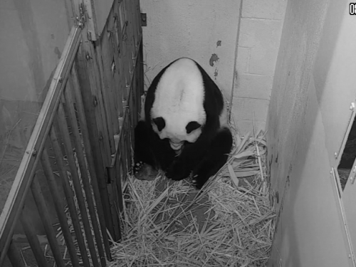 Screenshot of panda giving birth