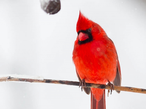 Red Northern Cardinal perched on twig in winter