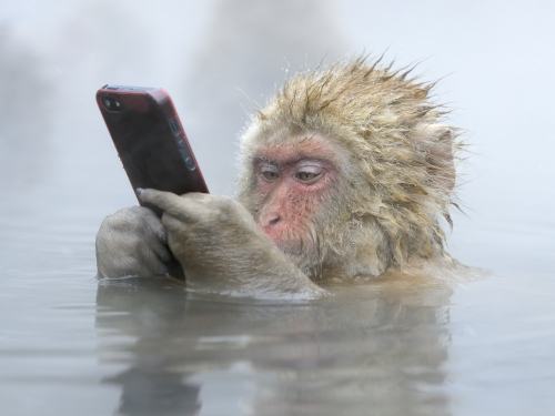 Monkey holds cell phone while sitting in water