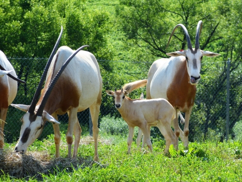 A scimitar-horned oryx named Chari with her calf.