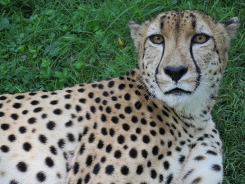 Cheetah sits in grass