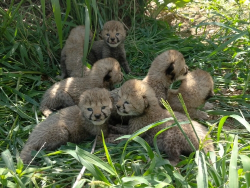 Cheetah cubs in their yard at the Smithsonian Conservation Biology Institute