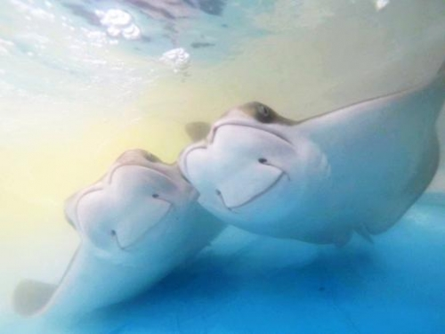 2 cownose rays
