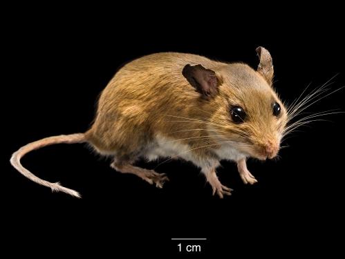 mouse specimen