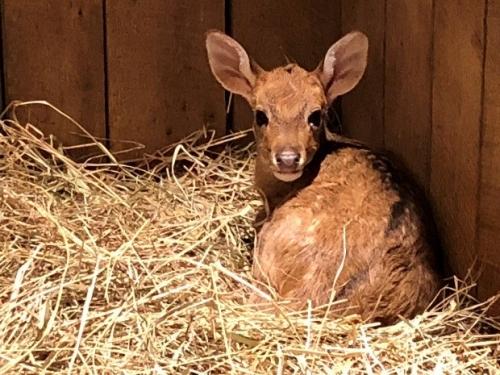 Eld's deer fawn