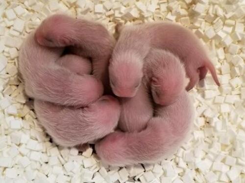New born ferrets