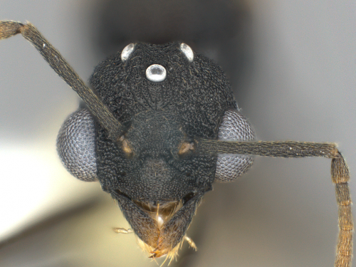 ghost ant head