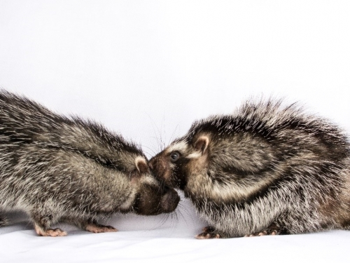 Two rats snuggling African crested rat (Lophiomys imhausi)