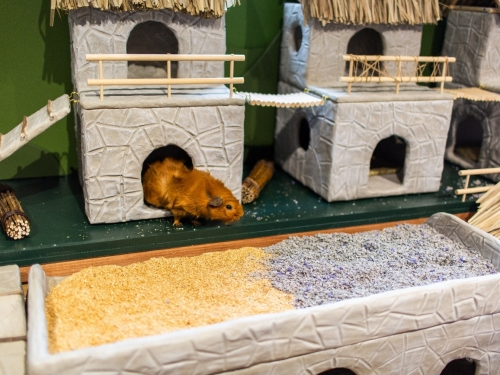 Guinea pigs in their new village