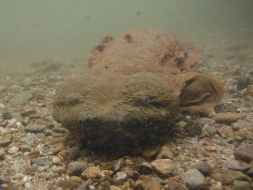 Hellbender underwater